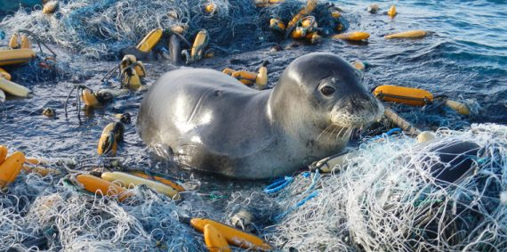 Seal trapped in fishing gear (image for story about gear recycling by Rachel Fritts)