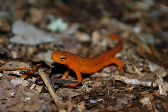 Eastern red-spotted newt eft