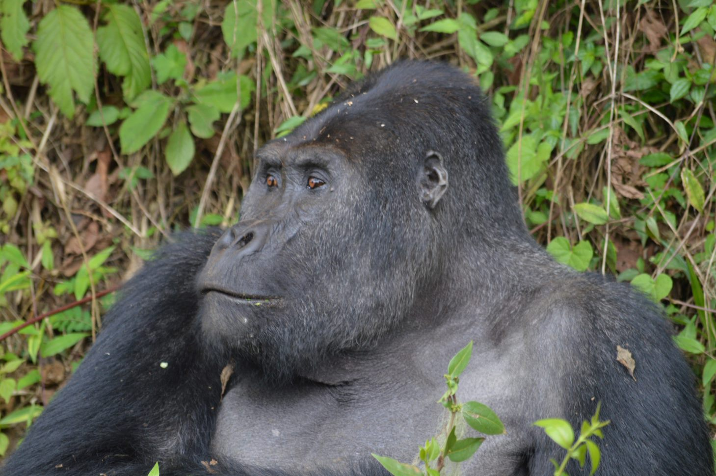 Grauer's gorilla near Maiko National Park. As described in the story in Mongabay by Rachel Fritts.