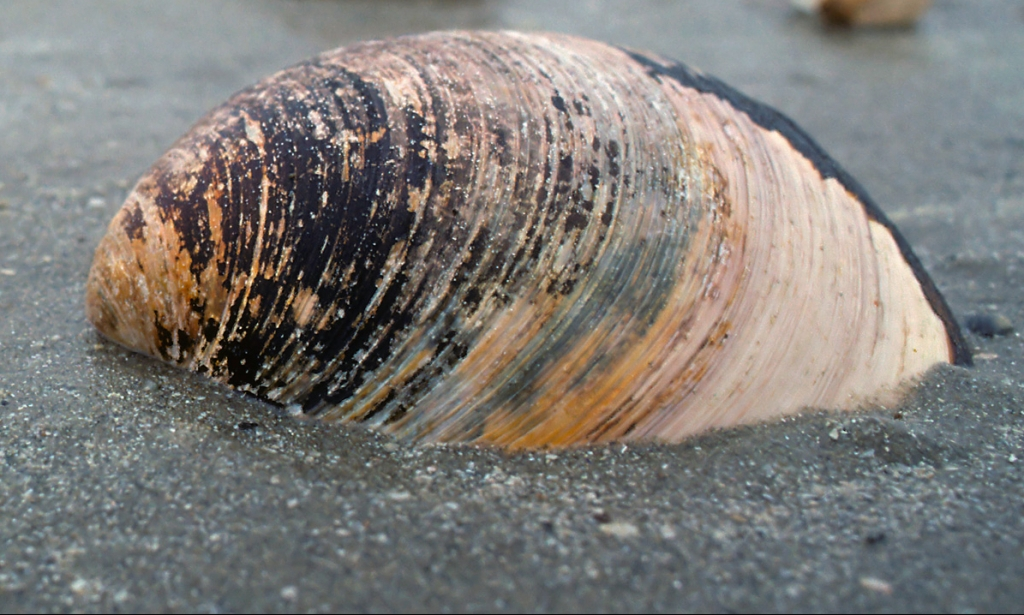 Quahog Shell. Photo by Buiten-Beeld/Alamy Stock Photo